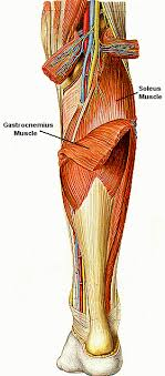 calf muscles images