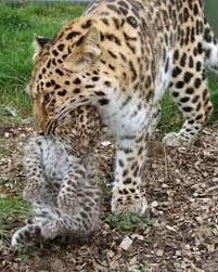 endangered species leopard
