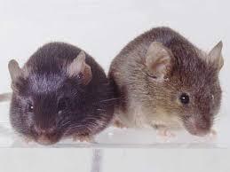 mice animal