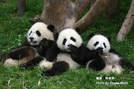 endangered species pandas