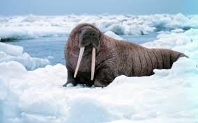 arctic walruses