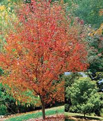 fairview flame maple