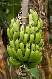 grow banana