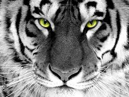 pictures of tigers eyes