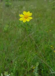 coreopsis plant