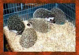 hedgehogs by vickie