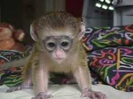 pictures of monkeys for sale