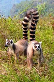 pictures of ring tailed lemurs