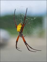 banana spider pictures