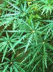 false aralia plant