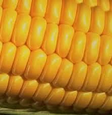 popcorn corn