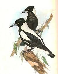 birds magpies