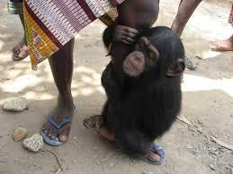 chimpanzee pet