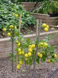 citrus fruit trees
