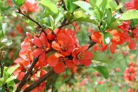 dwarf flowering cherry