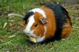 guinea pigs pet