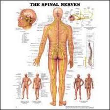 spinal nerves chart