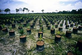 palm oil rainforest