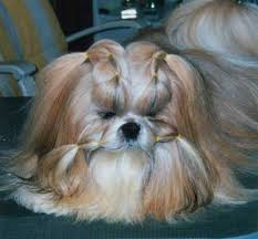 imperial shih tzu pictures