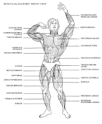 muscles of the body chart