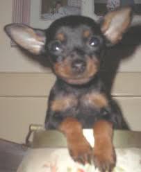 miniature doberman pinscher puppy