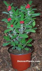 crown of thorn plants
