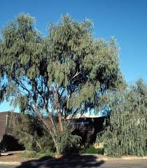 pendula tree