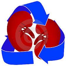 kidney organ
