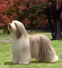 bearded collie pictures