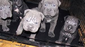 bull pei puppies