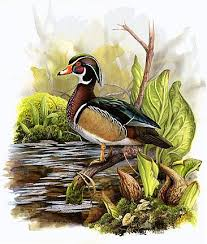 duck wood