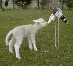lamb feeder