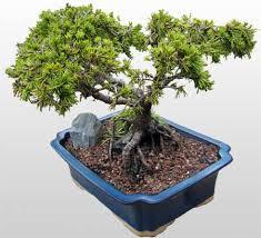 bonsais trees