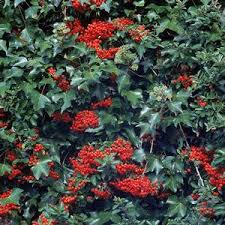 pyracantha shrubs