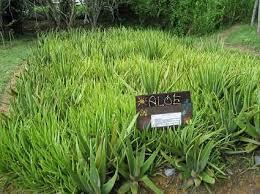 aloa vera plants