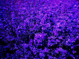 flowers violet