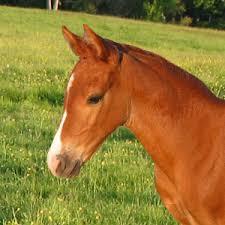 morgan horse photos