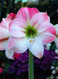 dutch amaryllis