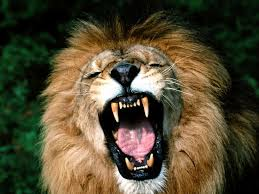african lion pictures