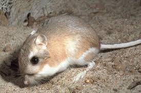 kangaroo rat pics