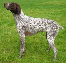 german bird dog