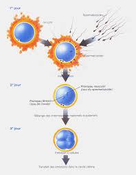 etapes de la fecondation