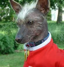 mexican hairless chihuahua