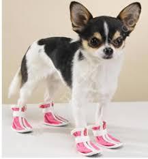 chihuahua boots