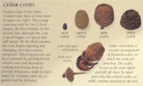 cedar tree seedlings