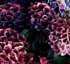 hydrangea colors