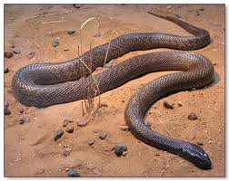 inland taipan pictures