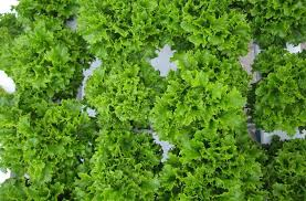 leaf lettuce varieties