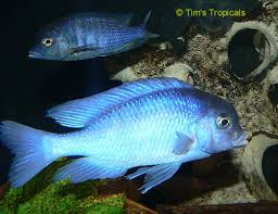 September Fish of the month! BlueDolphin1