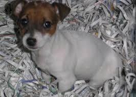 razze di cani piccola taglia
